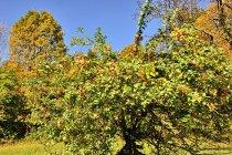 Beskidzka dzika jabłonka