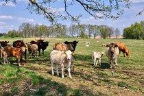 Brandenburskie byczki