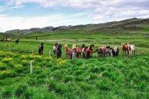 Ciekawskie islandzie konie