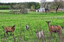 Ciekawskie kozy