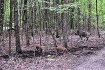 Dziki biegające wokół bunkra