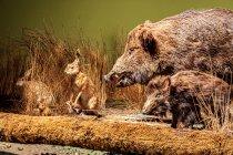 Dziki i zające z Puszczy Białowieskiej