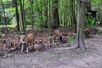 Dziki z Konewki