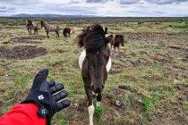 Islandzki koń - kuc islandzki?
