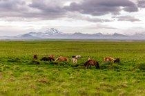 Islandzkie konie