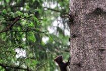Karpacka wiewiórka