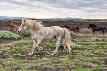 Koń rasy islandzkiej