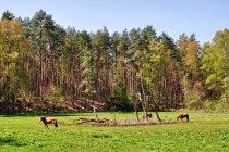 Konie na leśnej polanie przy szlaku Tour Brandenburg