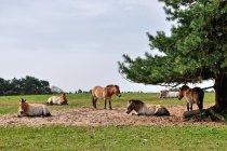 Konie Przewalskiego w Schorfheide
