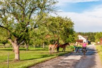 Konie w Holendrach