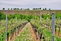 Krajobraz winnej części Frankonii