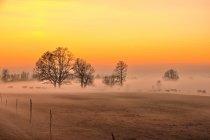 Krowy wędrujące we mgle
