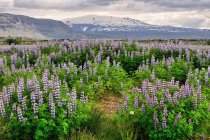 Łubinowa Islandia