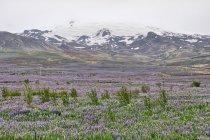 Łubinowy krajobraz na Islandii