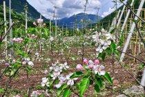 Młode jabłonie z Val di Sole