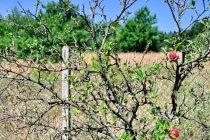 Morawska jabłoń