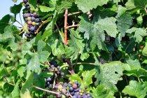 Morawska winorośl