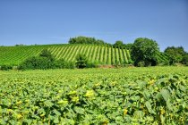 Morawskie słoneczniki i winorośl