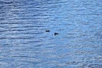 Morświny w Sognefjordzie