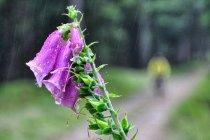 Naparstnica purpurowa z Olą w tle