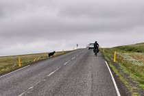 Owce - częste towarzystwo na islandzkich drogach