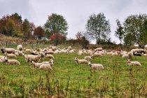 Owce koło Istebnej