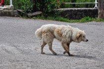 Pies włóczęga