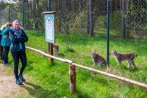 Rysie w Wildpark Schorfheide