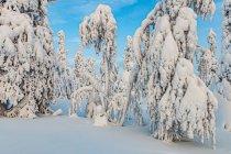 Śnieżne zjawy przy trasach narciarskich w Finlandii