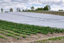 Strach przed przymrozkami na plantacjach truskawek
