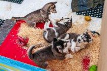 Szczeniaki husky z Ramsau