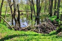 Tama zbudowana przez bobry na pobliskim potoku