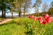 Tulipany z Himmelpfort