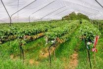 Uprawa truskawek po włosku