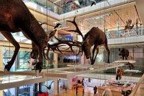 Walczące jelenie w muzeum Muse