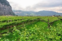 Winnice na początku Val di Non