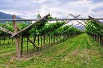 Winorośle w dolinie Adygi