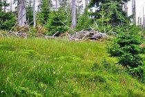 Zielone dywany w Karkonoskim Parku Narodowym