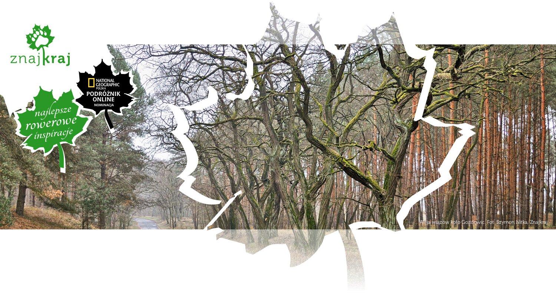 Aleja wiązów koło Gozdowic