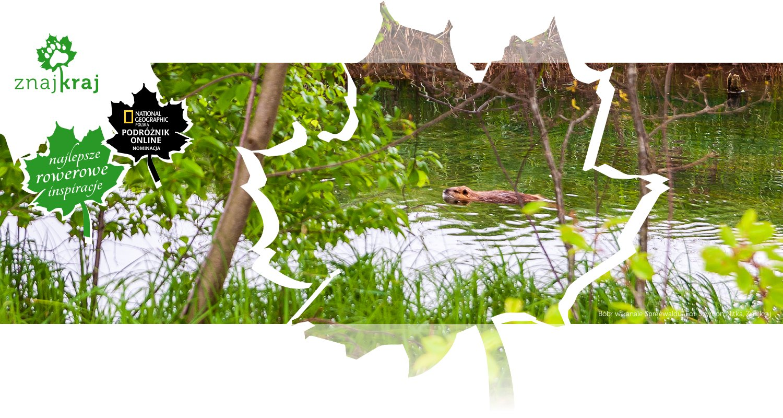 Bóbr w kanale Spreewaldu