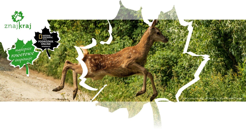 Cielak jelenia skaczący nad drogą
