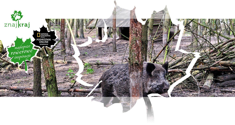 Dzik z parku dzikich zwierząt Schorfheide