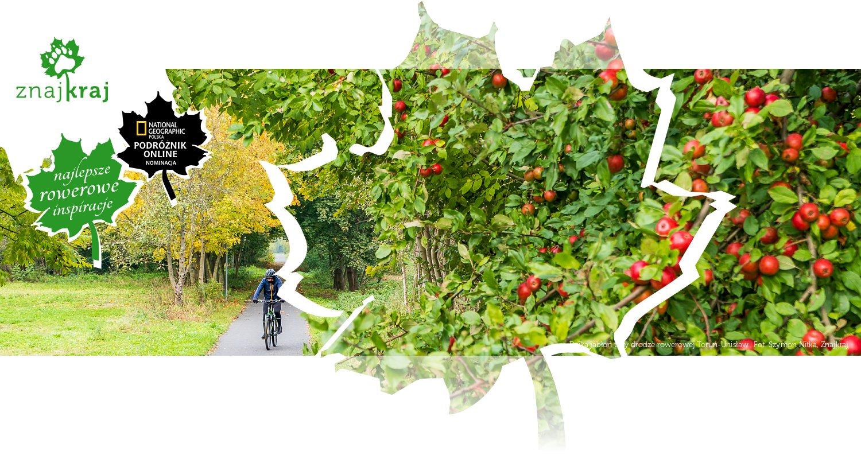 Dzika jabłoń przy drodze rowerowej Toruń-Unisław