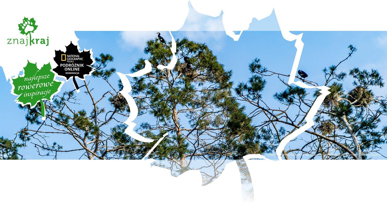 Gniazda kormoranów w rezerwacie przyrody