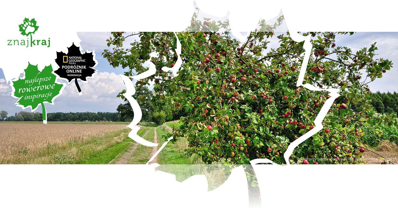 Jabłoń przy drodze rowerowej