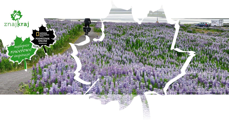 Łubin na początku drogi rowerowej przez Mosfellsbær