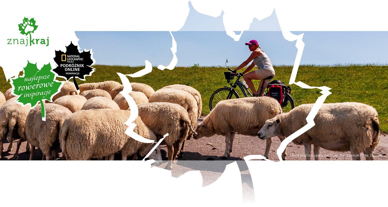 Owce podczas upału we Fryzji