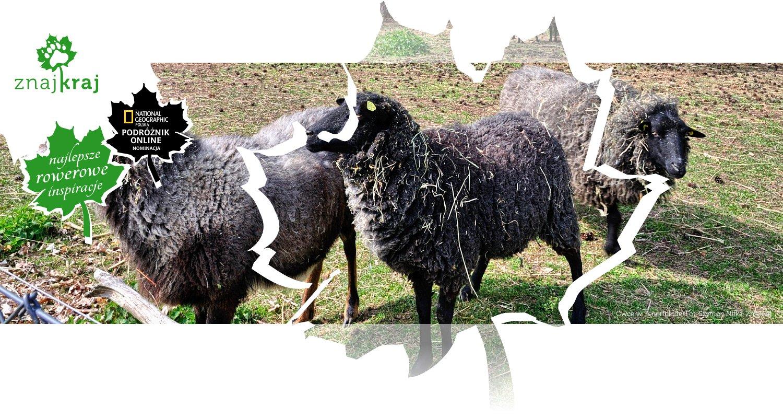 Owce w Schorfheide