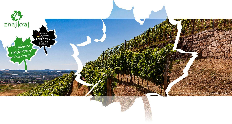 Rzędy winorośli nad Łabą