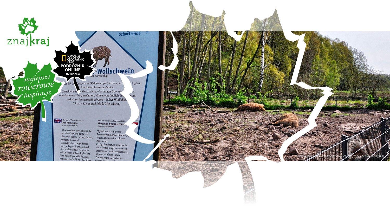 Świnia wełnista - mangalica